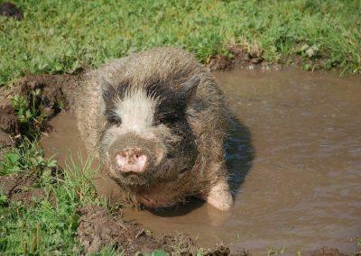 Schweinebad